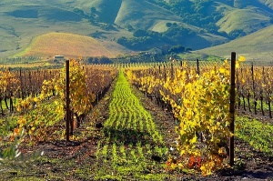 Carneros Vineyard