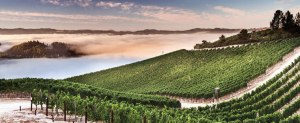fog descends on vineyard at Peter Michael Winery