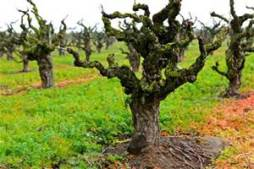 "Gnarly ""Old Vines"""