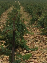 Diluvial deposits (stones) in the vineyards