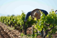 The vines are manicured by hand