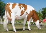 Vacche Montbeliarde