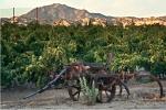 evanghelo+vineyard